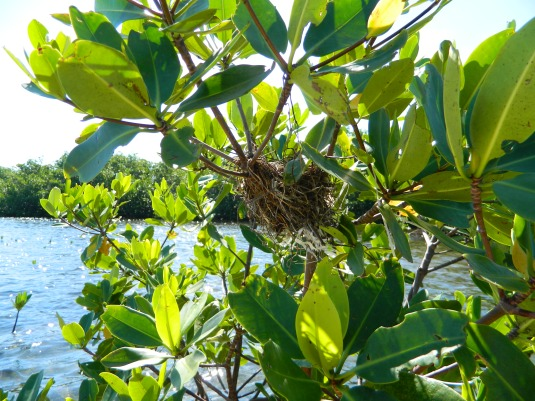 Cormorant nest in a red mangrove.